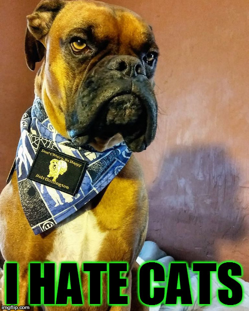 Grumpy Dog | I HATE CATS | image tagged in grumpy dog | made w/ Imgflip meme maker