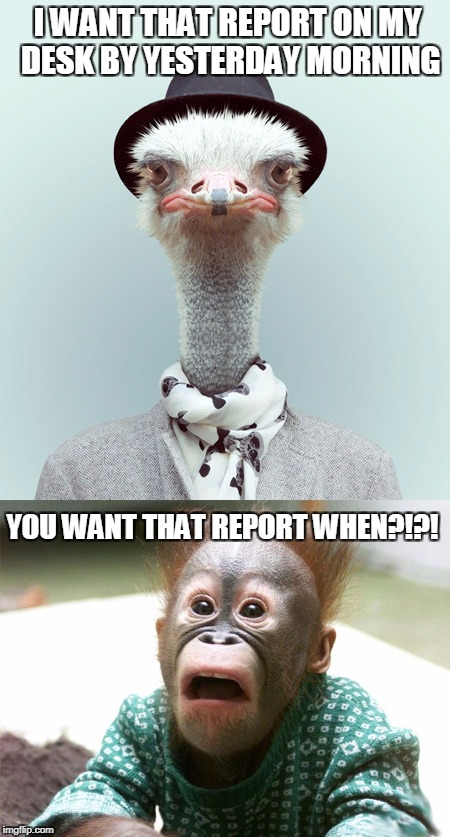 I WANT THAT REPORT ON MY DESK BY YESTERDAY MORNING YOU WANT THAT REPORT WHEN?!?! | image tagged in ostrich,orangutan,office humor,funny animals,deadlines,bad boss | made w/ Imgflip meme maker