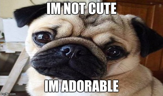 im not cuteim adorable | IM NOT CUTE IM ADORABLE | image tagged in pugs,dogs,cute,adorable | made w/ Imgflip meme maker