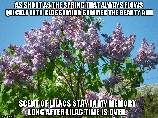 Lilac Time | AS SHORT AS THE SPRING THAT ALWAYS FLOWS QUICKLY INTO BLOSSOMING SUMMER THE BEAUTY AND SCENT OF LILACS STAY IN MY MEMORY LONG AFTER LILAC TI | image tagged in lilacs,spring,summer,memories | made w/ Imgflip meme maker