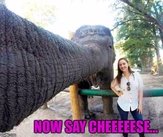 Selfies....so easy an elephant can do it!!! | NOW SAY CHEEEEESE... | image tagged in elephant selfie,memes,elephants,funny,animals,selfies | made w/ Imgflip meme maker
