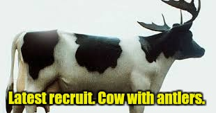 Latest recruit. Cow with antlers. | made w/ Imgflip meme maker