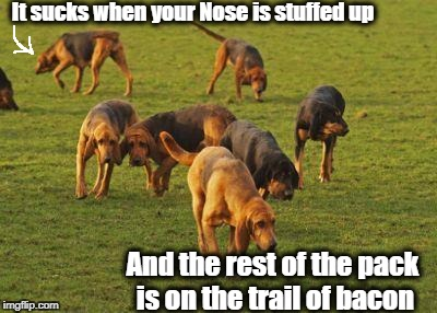 This poor dog needs some Nasal Spray! | It sucks when your Nose is stuffed up And the rest of the pack is on the trail of bacon | image tagged in bloodhounds,bacon,stuffy nose | made w/ Imgflip meme maker