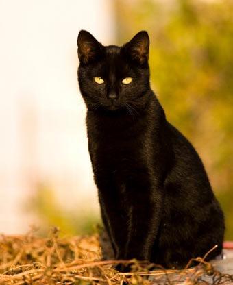 Black Cat Sitting Blank Template Imgflip
