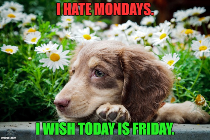 Dachshund hates mondays. | I HATE MONDAYS. I WISH TODAY IS FRIDAY. | image tagged in bored dachshund,dachshund,dachshunds,i hate mondays | made w/ Imgflip meme maker
