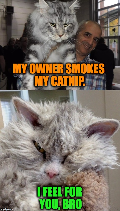 Sympathy, Pompous Albert style | MY OWNER SMOKES MY CATNIP. I FEEL FOR YOU, BRO | image tagged in catnip | made w/ Imgflip meme maker