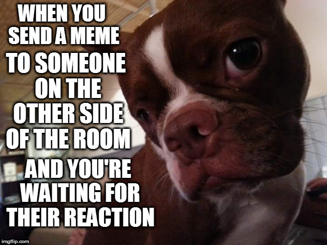 did you see it, did you see it |  WHEN YOU SEND A MEME; TO SOMEONE ON THE OTHER SIDE OF THE ROOM; AND YOU'RE WAITING FOR THEIR REACTION | image tagged in memes,dog,dogs,boston terrier | made w/ Imgflip meme maker