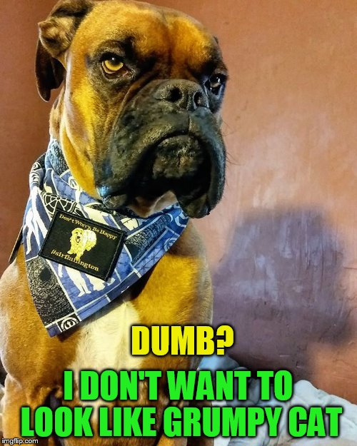 Grumpy Dog | DUMB? I DON'T WANT TO LOOK LIKE GRUMPY CAT | image tagged in grumpy dog | made w/ Imgflip meme maker