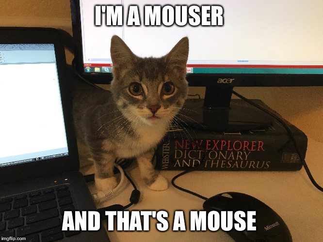 Why are you telling me no | I'M A MOUSER AND THAT'S A MOUSE | image tagged in cute cat,kittens | made w/ Imgflip meme maker