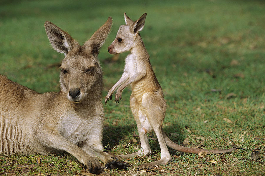kangaroo school blank template imgflip