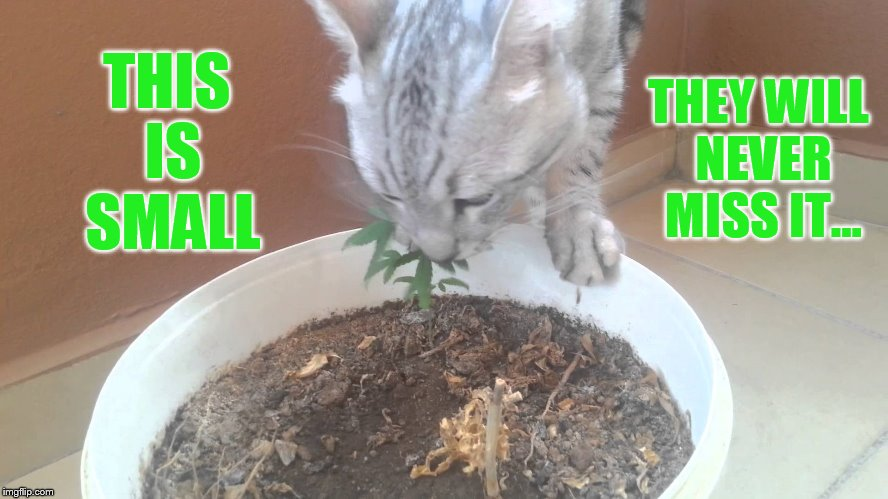 You Have Pictures of Me Doing What? Well maybe I did it... | THIS IS SMALL THEY WILL NEVER MISS IT... | image tagged in memes,cat memes,cat,eating,marijuana,plant | made w/ Imgflip meme maker