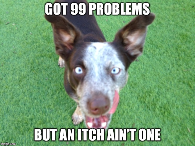 Frankie Problems | GOT 99 PROBLEMS BUT AN ITCH AIN'T ONE | image tagged in 99 problems,99,problems,itch,dog | made w/ Imgflip meme maker