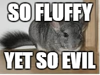 EVIL FLUFF | SO FLUFFY YET SO EVIL | image tagged in chinchilla | made w/ Imgflip meme maker