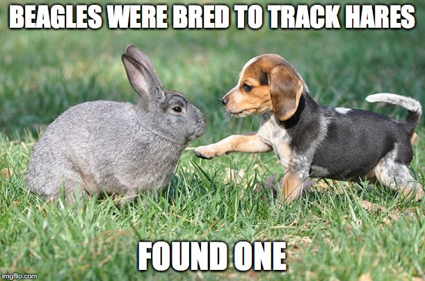 Too Easy, But Too Cute |  BEAGLES WERE BRED TO TRACK HARES; FOUND ONE | image tagged in beagle,bunny,rabbit,puppy,dog,cute | made w/ Imgflip meme maker