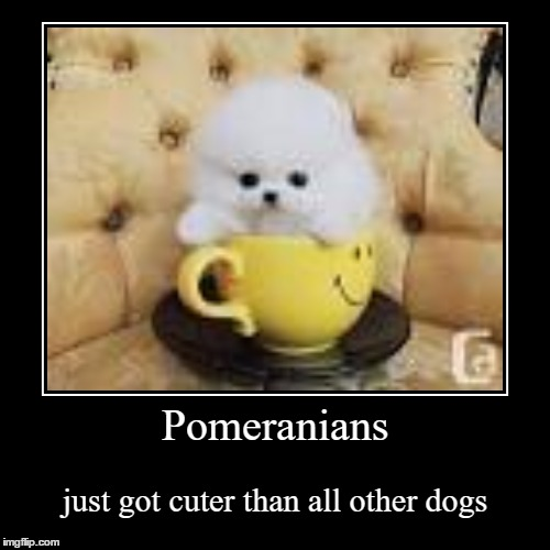 Pomeranians | just got cuter than all other dogs | image tagged in funny,demotivationals | made w/ Imgflip demotivational maker