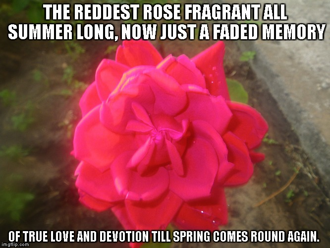 True Love and Devotion | THE REDDEST ROSE FRAGRANT ALL SUMMER LONG, NOW JUST A FADED MEMORY OF TRUE LOVE AND DEVOTION TILL SPRING COMES ROUND AGAIN. | image tagged in redroses,roses,summer,memories,love,truelove | made w/ Imgflip meme maker