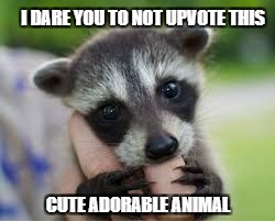 Cute racoon | I DARE YOU TO NOT UPVOTE THIS CUTE ADORABLE ANIMAL | image tagged in cute animals,funny memes,memes,upvotes,challenge | made w/ Imgflip meme maker