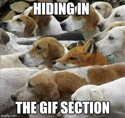 Fox and Foxhounds | HIDING IN THE GIF SECTION | image tagged in fox and foxhounds | made w/ Imgflip meme maker