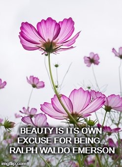 Beauty | BEAUTY IS ITS OWN EXCUSE FOR BEING...  RALPH WALDO EMERSON | image tagged in cosmos,ralph waldo emerson,rhodora,flowers,beauty | made w/ Imgflip meme maker