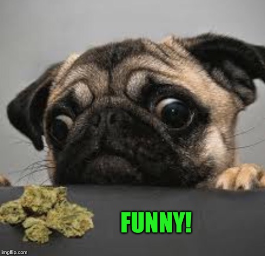 Pug weed | FUNNY! | image tagged in pug weed | made w/ Imgflip meme maker