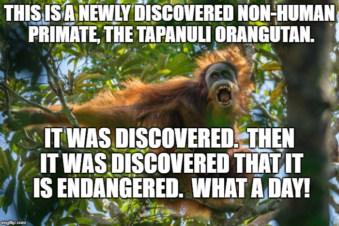 tapanuli | THIS IS A NEWLY DISCOVERED NON-HUMAN PRIMATE, THE TAPANULI ORANGUTAN. IT WAS DISCOVERED.  THEN IT WAS DISCOVERED THAT IT IS ENDANGERED.  WHA | image tagged in orangutan | made w/ Imgflip meme maker