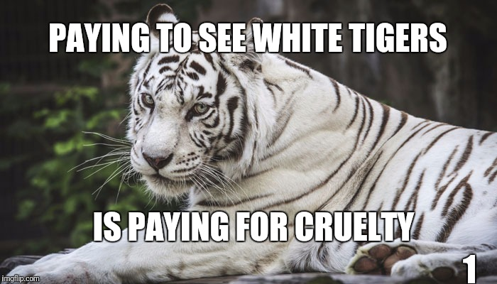 White Tiger | PAYING TO SEE WHITE TIGERS 1 IS PAYING FOR CRUELTY | image tagged in white tiger | made w/ Imgflip meme maker