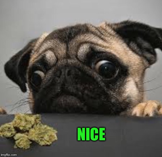 Pug weed | NICE | image tagged in pug weed | made w/ Imgflip meme maker