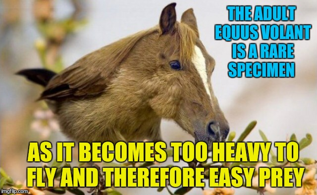 THE ADULT EQUUS VOLANT IS A RARE SPECIMEN AS IT BECOMES TOO HEAVY TO FLY AND THEREFORE EASY PREY | made w/ Imgflip meme maker
