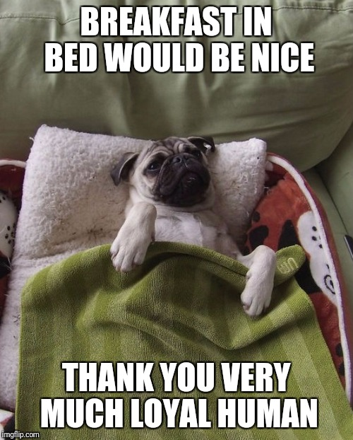 BREAKFAST IN BED WOULD BE NICE THANK YOU VERY MUCH LOYAL HUMAN | image tagged in wake up pug | made w/ Imgflip meme maker