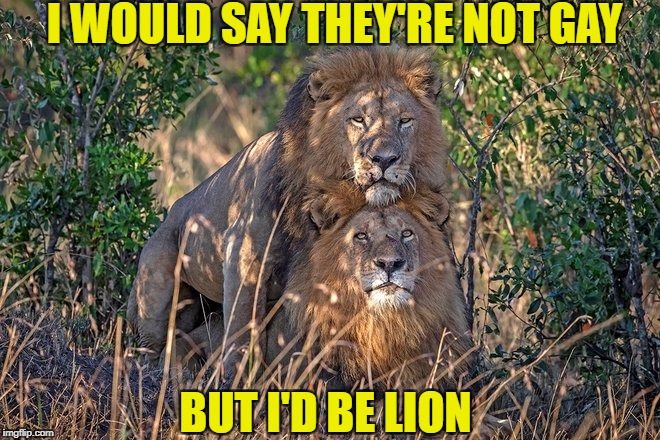 Lions tigers and bears....OH MY! | I WOULD SAY THEY'RE NOT GAY BUT I'D BE LION | image tagged in gay,lions,memes,funny,animals | made w/ Imgflip meme maker