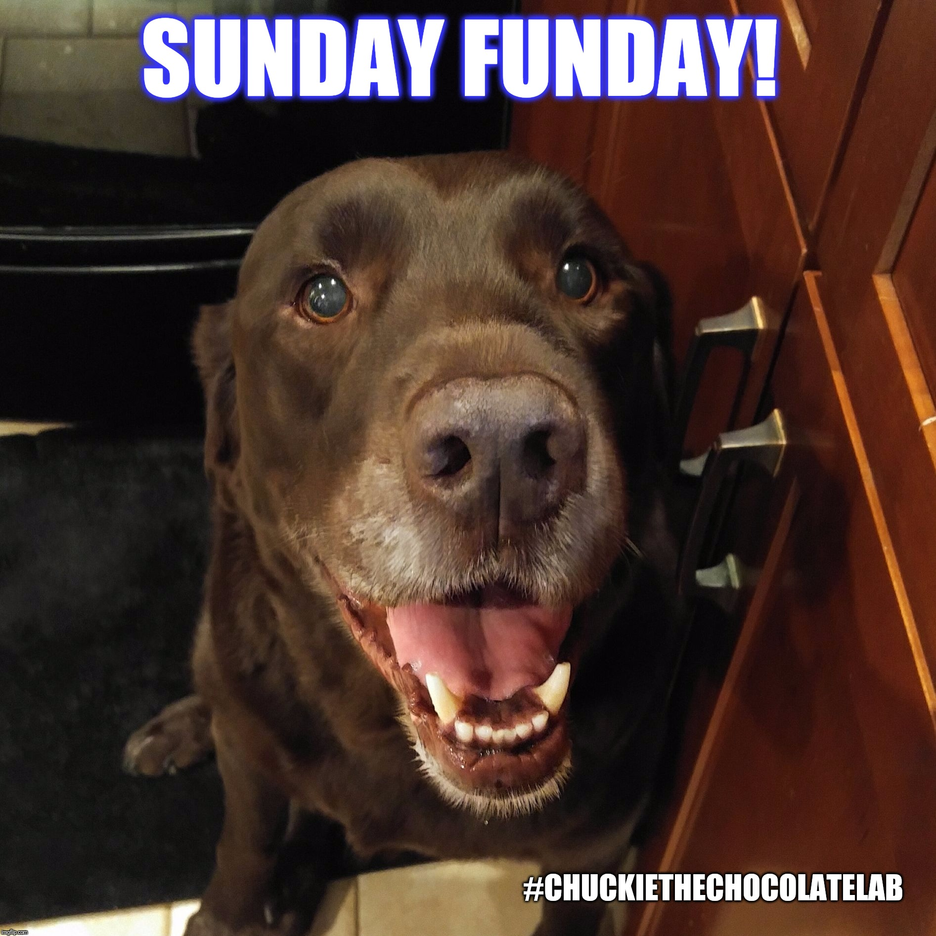 Sunday Funday!  | SUNDAY FUNDAY! #CHUCKIETHECHOCOLATELAB | image tagged in chuckie the chocolate lab teamchuckie,sunday funday,memes,dogs,smile,labrador | made w/ Imgflip meme maker