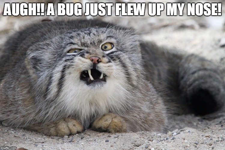 AUGH!! A BUG JUST FLEW UP MY NOSE! | image tagged in pallas cat,funny animals,memes,funny memes,funny cats | made w/ Imgflip meme maker