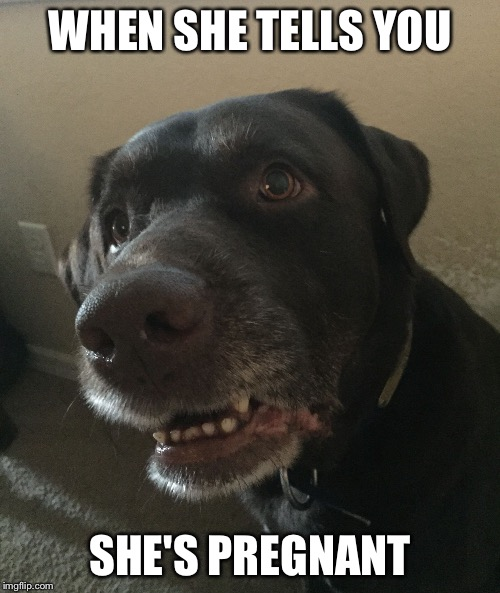 WHEN SHE TELLS YOU SHE'S PREGNANT | image tagged in chocolate lab huh | made w/ Imgflip meme maker