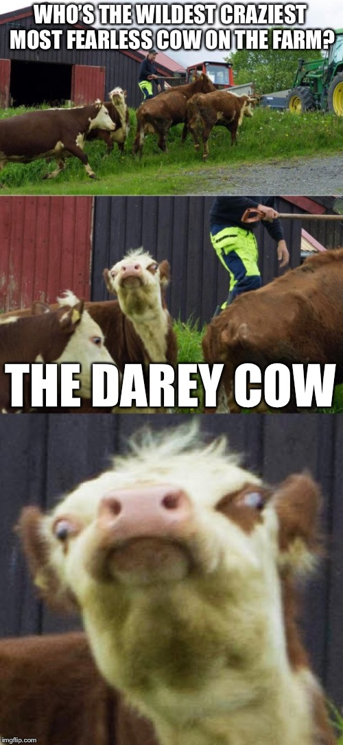 Bad pun cow  | WHO'S THE WILDEST CRAZIEST MOST FEARLESS COW ON THE FARM? THE DAREY COW | image tagged in bad pun cow,memes,funny | made w/ Imgflip meme maker