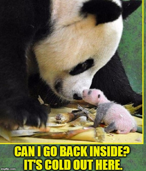 Welcome to the Cold, Cruel World | CAN I GO BACK INSIDE? IT'S COLD OUT HERE. | image tagged in vince vance,pandas,baby panda,newborn panda,made in china,animal meme | made w/ Imgflip meme maker