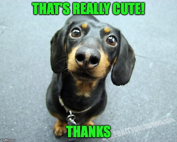cute daschund puppy | THAT'S REALLY CUTE! THANKS | image tagged in cute daschund puppy | made w/ Imgflip meme maker