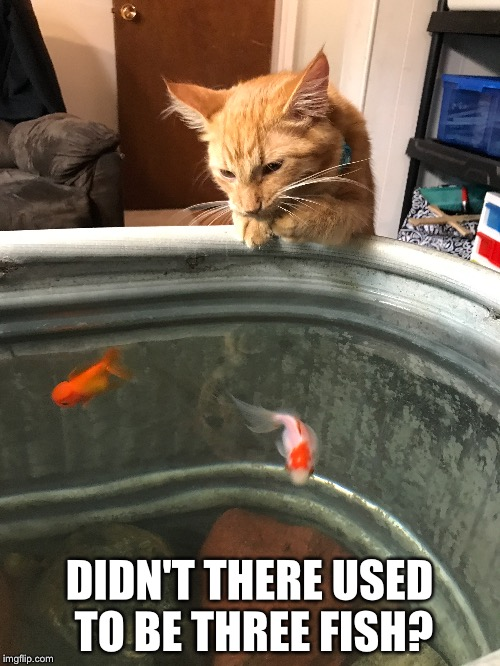 DIDN'T THERE USED TO BE THREE FISH? | image tagged in cats,fish | made w/ Imgflip meme maker