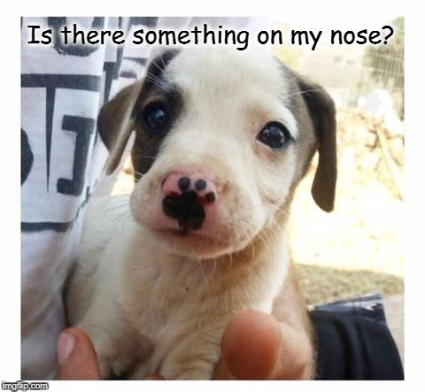Do I Have A Booger? | Is there something on my nose? | image tagged in dogs,puppies,cute puppies | made w/ Imgflip meme maker