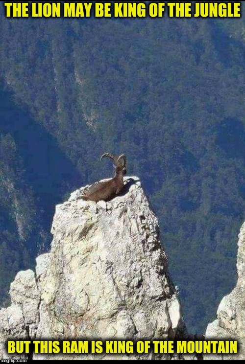 What a View! | THE LION MAY BE KING OF THE JUNGLE BUT THIS RAM IS KING OF THE MOUNTAIN | image tagged in memes,on top of the world,majestic | made w/ Imgflip meme maker