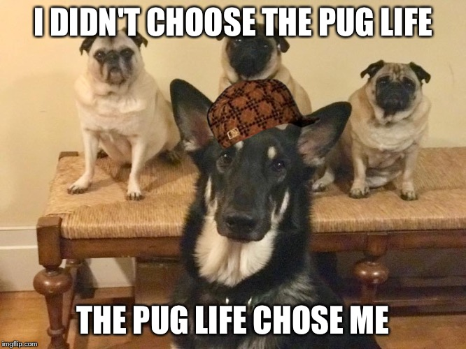 I DIDN'T CHOOSE THE PUG LIFE THE PUG LIFE CHOSE ME | image tagged in klaus,scumbag | made w/ Imgflip meme maker