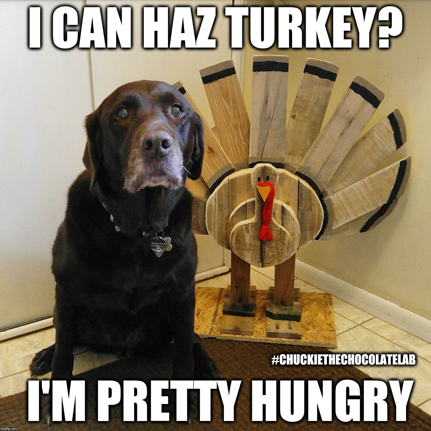 I can haz turkey?  | I CAN HAZ TURKEY? I'M PRETTY HUNGRY #CHUCKIETHECHOCOLATELAB | image tagged in chuckie the chocolate labteamchuckie,turkey,i can haz,thanksgiving,dogs,memes | made w/ Imgflip meme maker