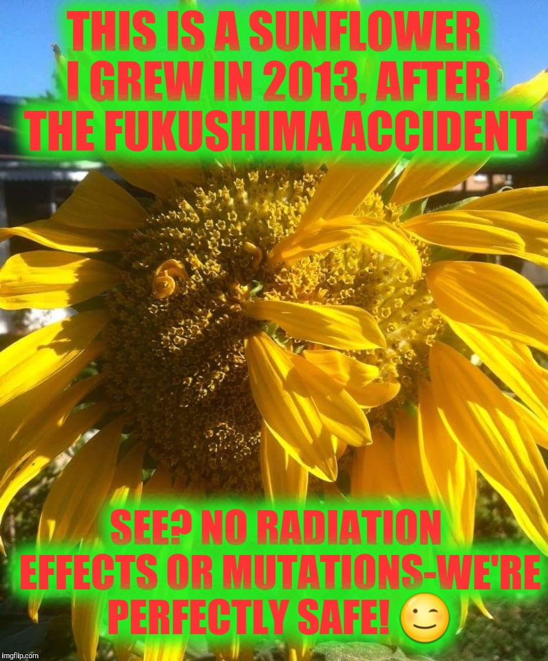 Fukushima Flower | THIS IS A SUNFLOWER I GREW IN 2013, AFTER THE FUKUSHIMA ACCIDENT SEE? NO RADIATION EFFECTS OR MUTATIONS-WE'RE PERFECTLY SAFE!  | image tagged in justjeff,sunflower,fukushima | made w/ Imgflip meme maker