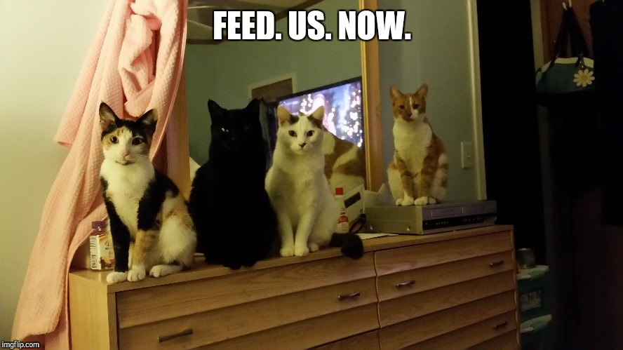 FEED. US. NOW. | image tagged in cats,funny,memes | made w/ Imgflip meme maker