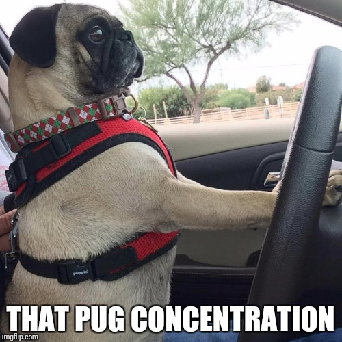 THAT PUG CONCENTRATION | image tagged in pugs | made w/ Imgflip meme maker