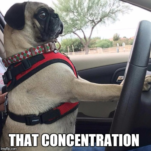 Driving Pug | THAT CONCENTRATION | image tagged in pugs | made w/ Imgflip meme maker