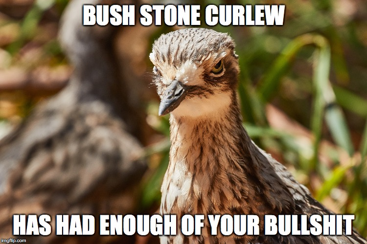 bush stone curlew has had enough of your bullshit | BUSH STONE CURLEW HAS HAD ENOUGH OF YOUR BULLSHIT | image tagged in bush stone curlew,bird,judgy af | made w/ Imgflip meme maker