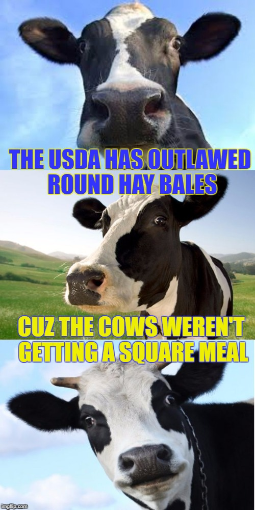 Bad Pun Dairy Queen | THE USDA HAS OUTLAWED ROUND HAY BALES CUZ THE COWS WEREN'T GETTING A SQUARE MEAL | image tagged in bad pun cow,memes,cows,bad pun,hayfever,farm animals | made w/ Imgflip meme maker