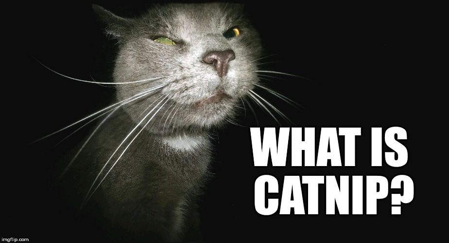 Stalker Cat | WHAT IS CATNIP? | image tagged in stalker cat | made w/ Imgflip meme maker