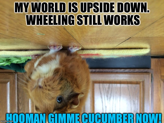 MY WORLD IS UPSIDE DOWN. WHEELING STILL WORKS HOOMAN GIMME CUCUMBER NOW! | image tagged in cashew | made w/ Imgflip meme maker