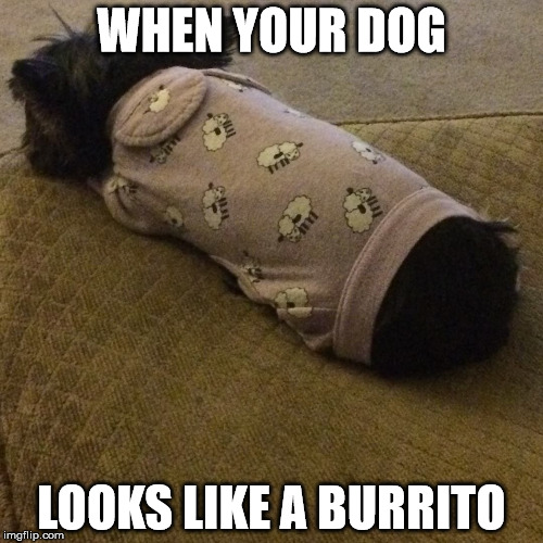 My sister took a picture of her dog and now I think that her dog is part burrito! | WHEN YOUR DOG LOOKS LIKE A BURRITO | image tagged in funny,memes,dogs,burrito,wtf | made w/ Imgflip meme maker
